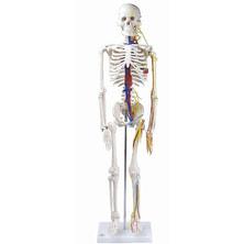 全身骨格模型IK22(1/2サイズ 主要動脈・静脈・神経根付)