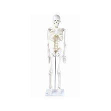 全身骨格模型IK21(1/2サイズ)